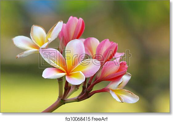 how to grow frangipani from branch