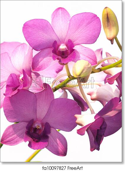 Free Art Print Of Pink Purple Dendrobium Orchid Flower On White