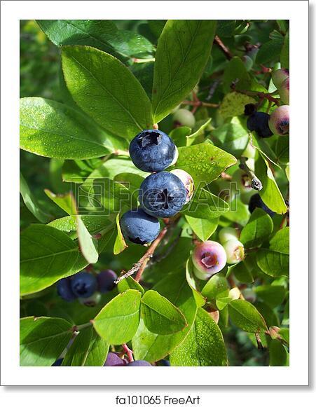Free art print of Blueberries 1. Blueberries on bush, in ...