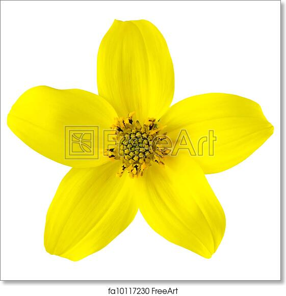 Free art print of yellow wild flower with five petals isolated free art print of yellow wild flower with five petals isolated mightylinksfo