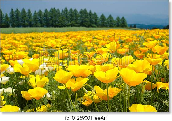 Free Art Print Of California Poppy Flower Field Bright Yellow