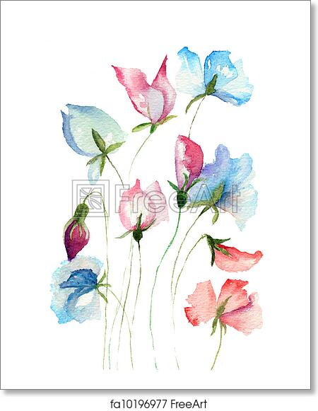Sweet pea flowers, watercolor illustration