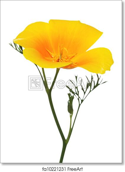 Free Art Print Of California Golden Poppy Flower Close Up Of
