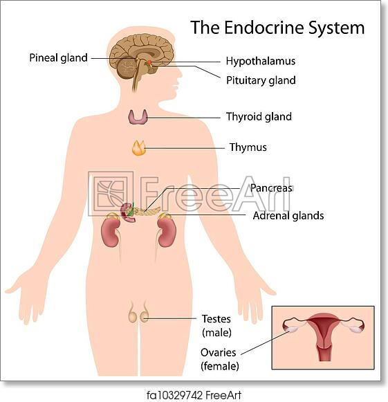 Free Art Print Of The Endocrine System Eps10 Anatomy Of The