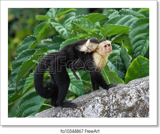 Free art print of Adult Capuchin Monkey Carrying Baby on its
