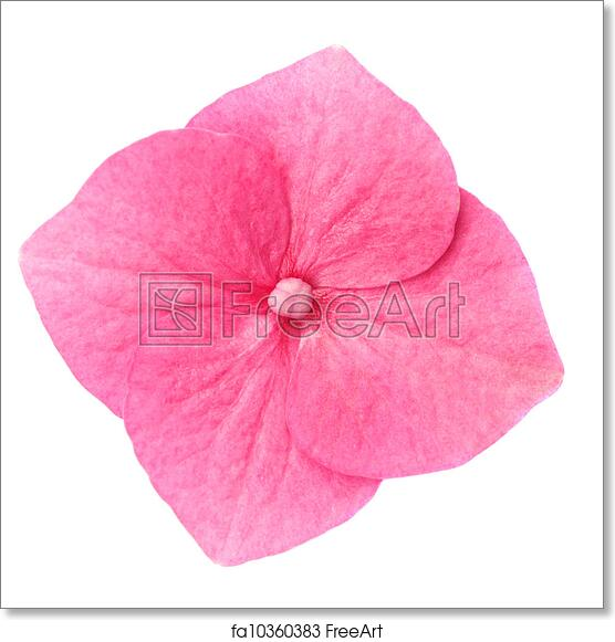 Free art print of hydrangea flower macro of single pink hydrangea free art print of hydrangea flower macro of single pink hydrangea flower on white background freeart fa10360383 mightylinksfo