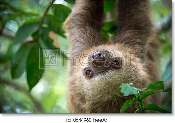 free art print of two toed sloth two toed sloth hanging from a tree