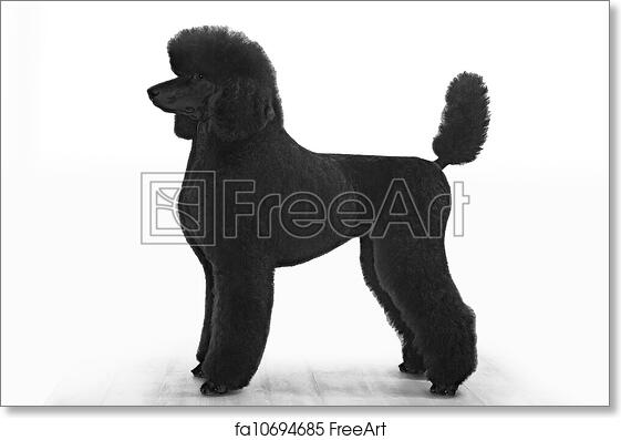 9a3cccbeb53d Free art print of Standard poodle. Standard poodle on white background |  FreeArt | fa10694685
