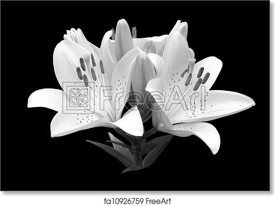 Free art print of black and white flower lily black and white free art print of black and white flower lily mightylinksfo