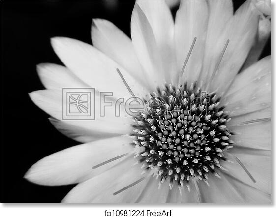 Free Art Print Of Black And White Flower Black And White Flower A