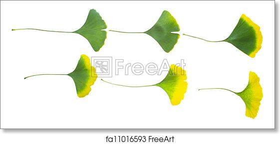 free art print of ginkgo leaves with the seasonal variation of