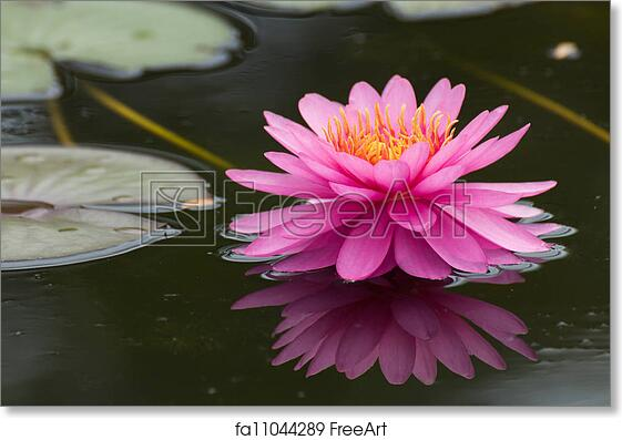 Free art print of Pink lotus blossoms or water lily flowers blooming on pond