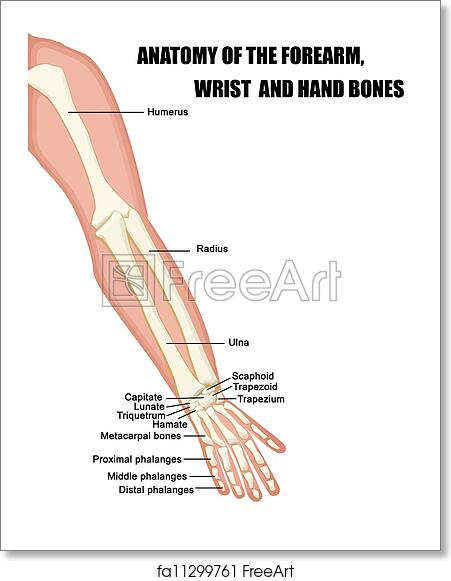 Free art print of Anatomy of the Forearm, Wrist and Hand Bones ...