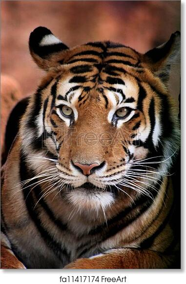 free art print of tiger face from front close up picture of a large