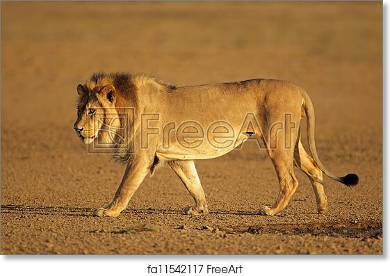 free art print of walking african lion big male african lion