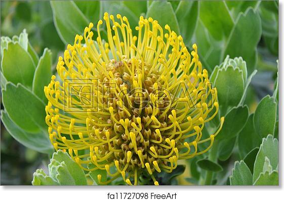 Free Art Print Of Yellow Protea Pincushion