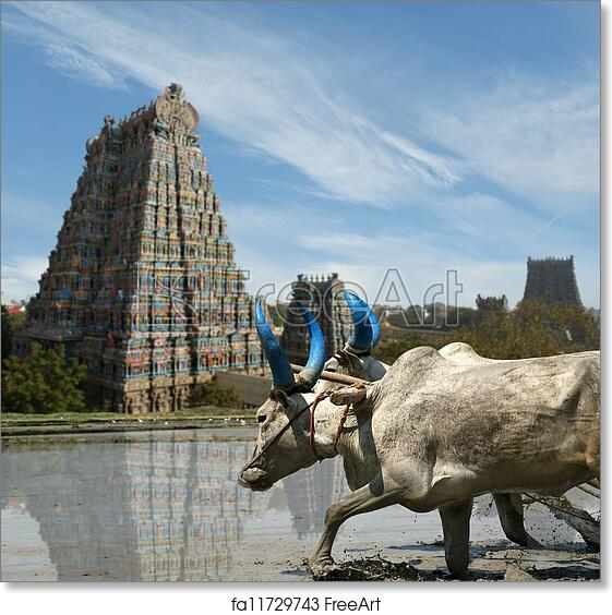 Free art print of Buffaloes in the rice fields on the background of  Meenakshi Hindu temple in Madurai, Tamil Nadu, South India