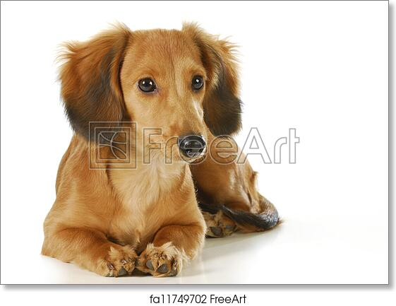 Free art print of Long haired dachshund