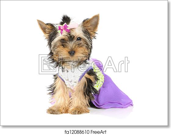 Free Art Print Of Grooming Yorkshire Terrier In Dress On The White