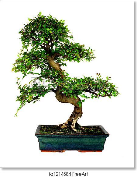 Free Art Print Of Bonsai Tree Chinese Elm Bonsai Tree Isolated On White Freeart Fa1214384