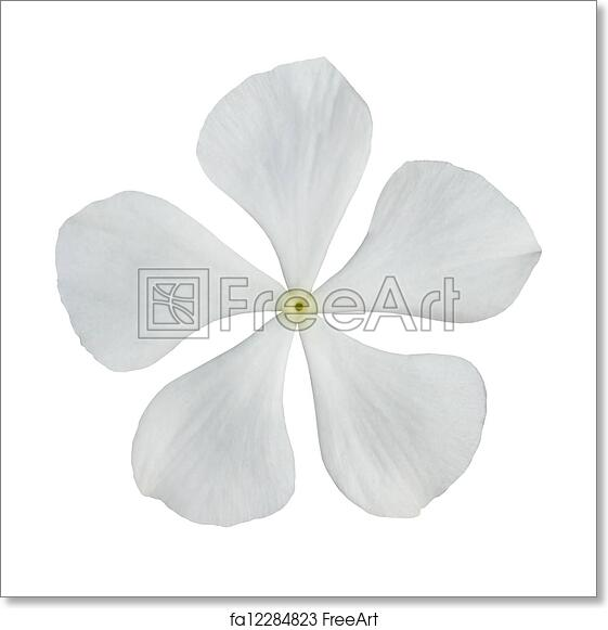 Free art print of White Periwinkle Flower Isolated on White
