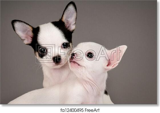 Free Art Print Of Two Chihuahua Puppies Two Chihuahua Puppies 2