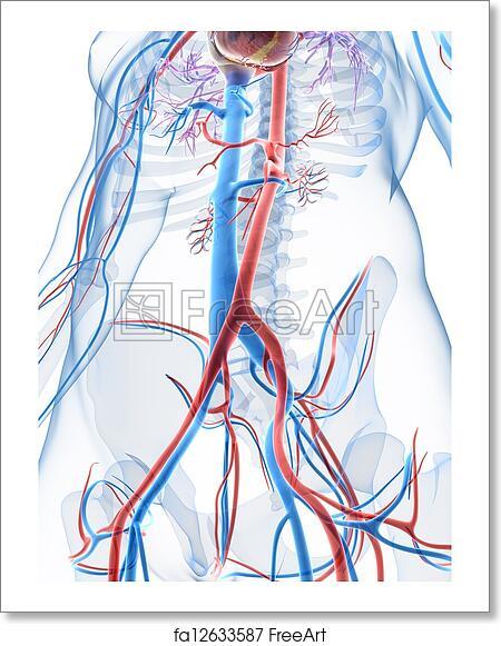 Free art print of 3d rendered illustration of the human vascular ...