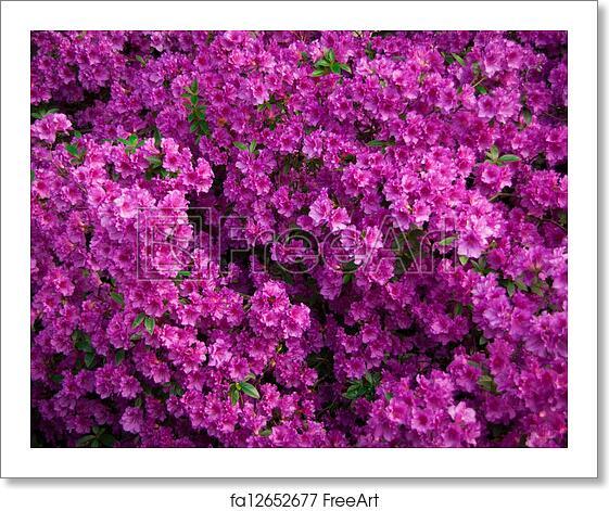 Free Art Print Of Azaleas Bush Pink Azalea Flowers In Bloom