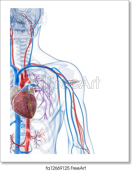 Free art print of Human vascular system. 3d rendered illustration of ...
