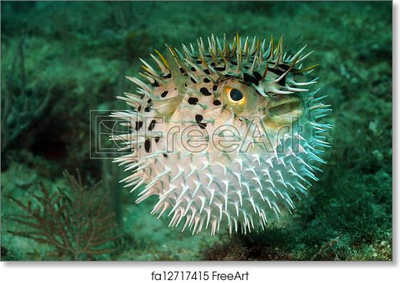 Free art print of Blowfish or puffer fish in ocean