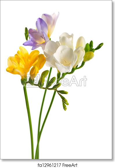 Free art print of white and yellow and purple freesia flowers free art print of white and yellow and purple freesia flowers mightylinksfo