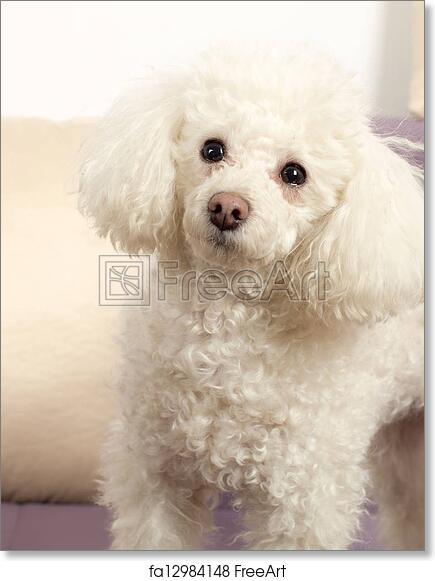 c2253228eb1e Free art print of Poodle. White Toy Poodle head close-up | FreeArt |  fa12984148