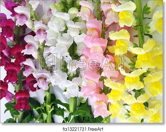Free art print of variegated antirrhinum snapdragon flower free art print of variegated antirrhinum snapdragon flower background mightylinksfo