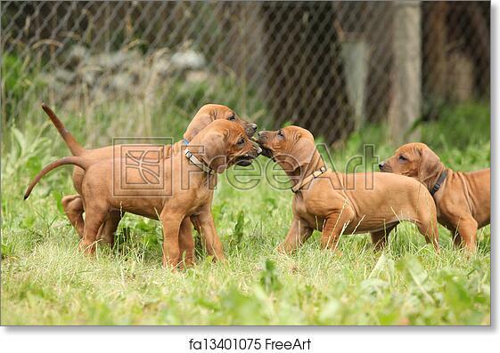Free art print of Rhodesian ridgeback puppies playing