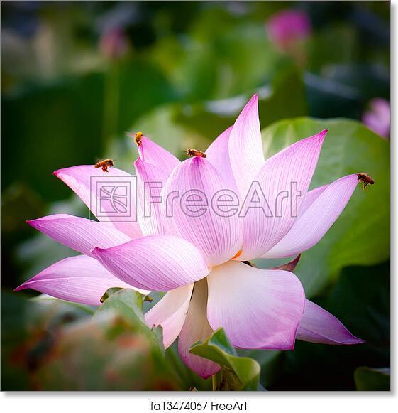 Free Art Print Of Lotus Flowerhindu Lotus Summer Flowers A Few