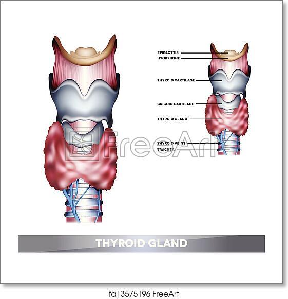 Free Art Print Of Thyroid Gland Anatomy Of Thyroid Gland