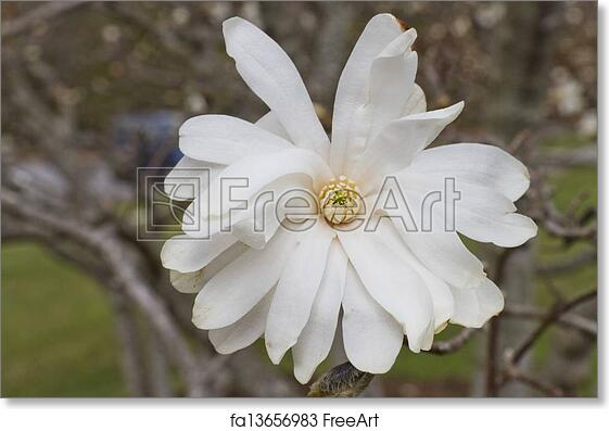 Free Art Print Of Royal Star Magnolia Tree Flower Close Up Of A