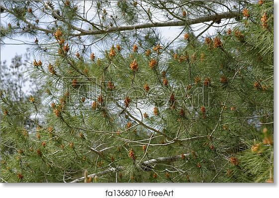 Free art print of Male pollen cones (strobili) among needles on  Mediterranean pine tree, shallow DOF