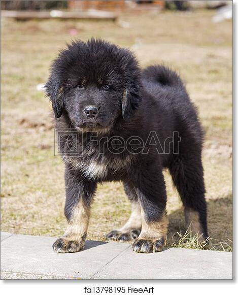 Free art print of Puppy Tibetan Mastiff