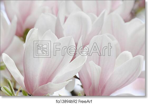 Free Art Print Of Magnolia Tree Blossom Close Up Of White Magnolia