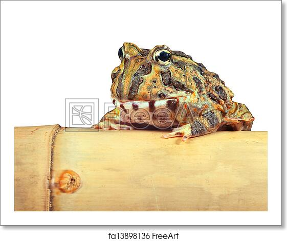 Free Art Print Of Pacman Frog Isolated Pacman Frog Or Toad