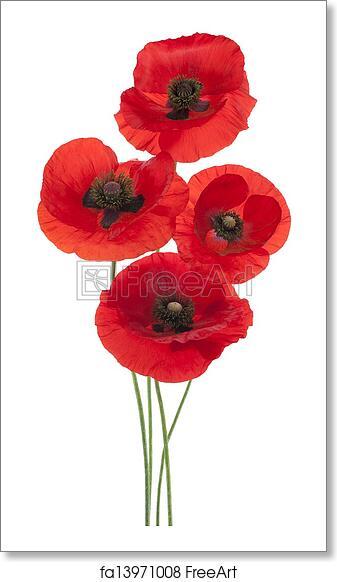 Free Art Print Of Poppy Studio Shot Of Red Colored Poppy Flowers