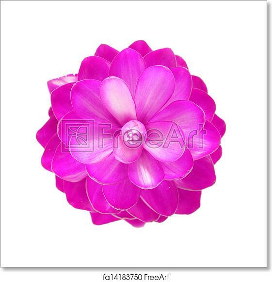 Free art print of pink ginger flower freeart fa14183750 free art print of pink ginger flower mightylinksfo
