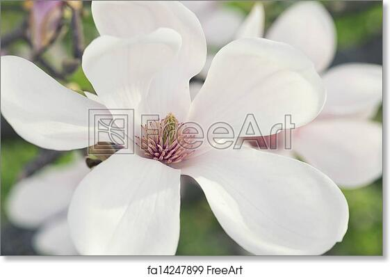 Free Art Print Of Magnolia Flower Beautiful Flowers Of A Magnolia