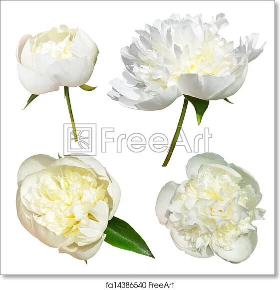 Free art print of flowers white peonies isolated white peonies free art print of flowers white peonies mightylinksfo