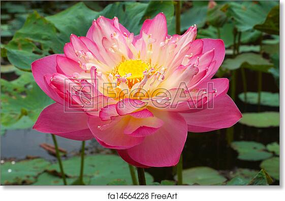 Free art print of Pink Beautiful lotus flower. Buddhist religious symbol. | FreeArt | fa14564228