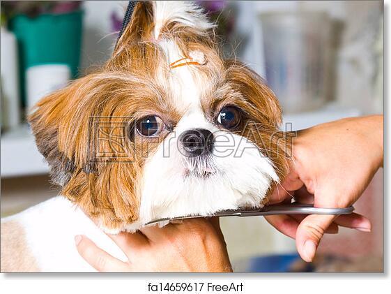 Free Art Print Of Grooming The Shih Tzu Dog Freeart Fa14659617