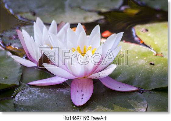 Free art print of lotus flower indian lotus nelumbo nucifera free art print of lotus flower mightylinksfo