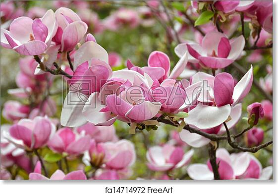 Free art print of pink magnolia blossom bloomy magnolia tree with free art print of pink magnolia blossom mightylinksfo