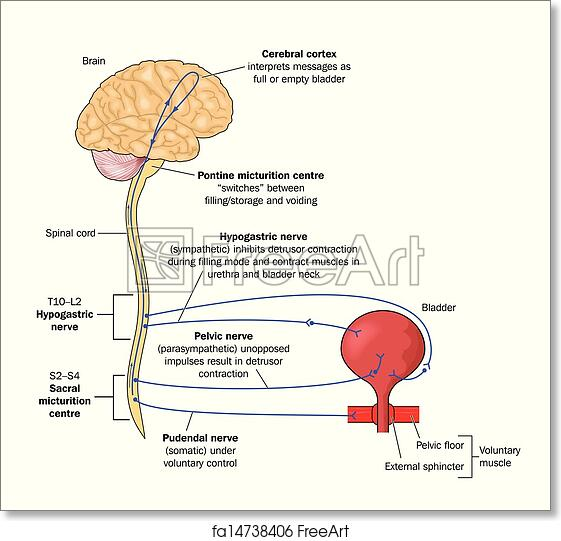 Free Art Print Of Nerve Pathways To The Bladder Drawing To Show The